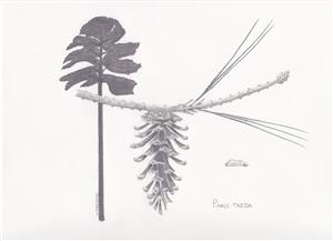 Pencil drawing of loblolly pine