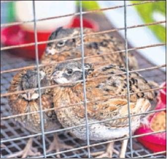 Alamance County 4-H display bobwhite quail.